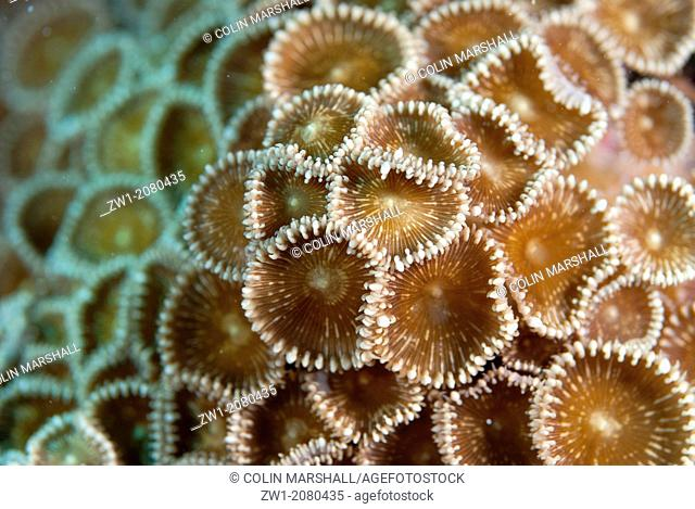 Oral disc of Coral (Protopalythoa sp.) polyps near Alor in Indonesia