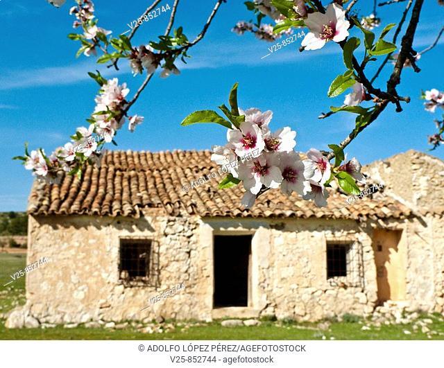 Almond tree in bloom, Albacete province, Castile-La Mancha, Spain
