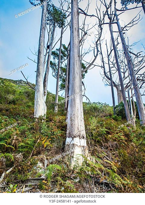 A stand of ring-barked gum trees. The ring-barking eventually kills the tree. Cape Town, South Africa