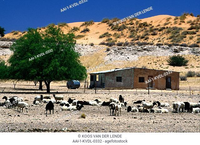 Sheep, Hakskeenpan, Kalahari, Botswana