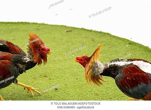 Figting cocks, Mallorca, balearic islands, Spain