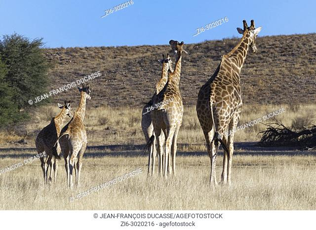 South African giraffes (Giraffa giraffa giraffa), adults and young, walking in the dry grass, Kgalagadi Transfrontier Park, Northern Cape, South Africa, Africa