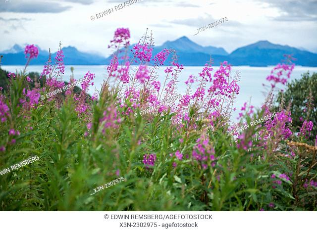 Fireweed (Epilobium angustifolium) and landscape near Homer Alaska