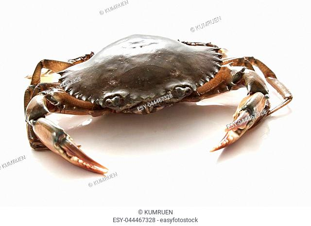 Crab on white background. Fresh seafood. Serrated mud crab