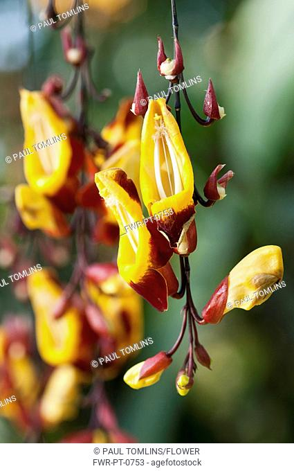 Pendent flower spike of Clock vine or Thunbergia mysorensis with yellow, tubular flowers with recurved, red - brown lobes
