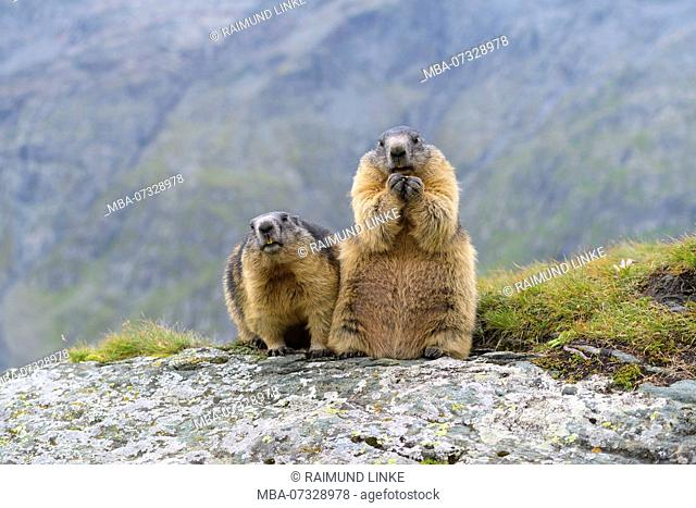 Alpine Marmot, Marmota marmota, two adults, Hohe Tauern National park, Austria