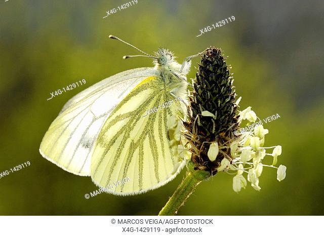 Green-veined White Pieris napi sunbathing