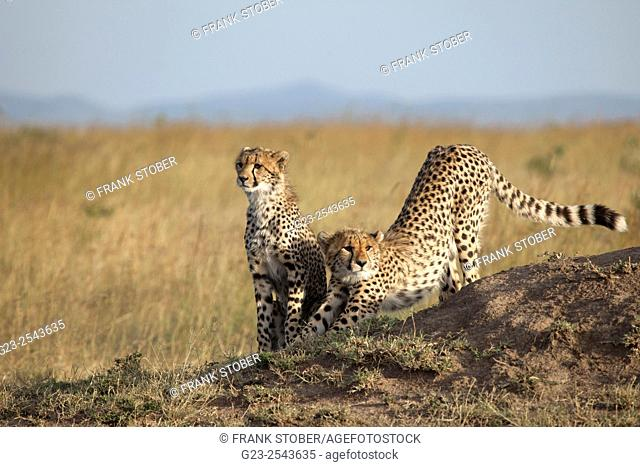 Two cheetah. Maasai Mara National Reserve.  Kenya
