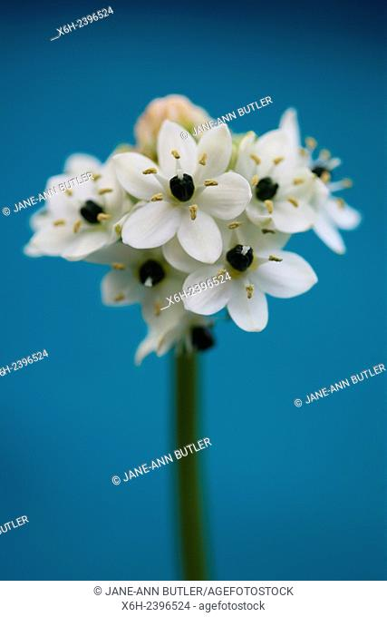 ornithogalum arabicum, star of bethlehem, arabian star flower, a healing herb - ''comforter and soother of pains and sorrows''