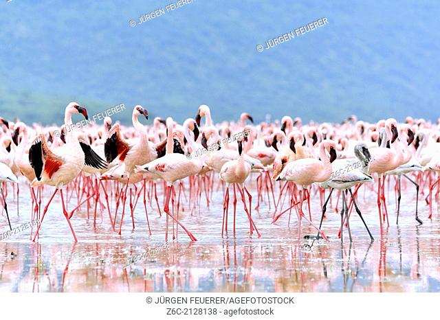 Flamingos, Phoenicopterus minor, spreading their deep red wings to get the attention of the females, in African Rift Valley, Lake Bogoria, Kenya