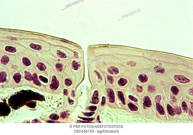 Frog skin, Amphibia: Anura, 1000 X, membranous skin,   optical microscope, photomicrography , histology