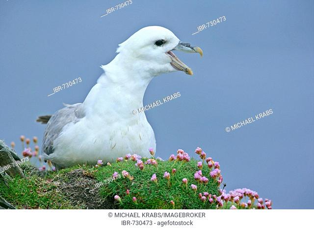 Adult Northern Fulmar (Fulmarus glacialis) sitting on its nest loudly defending it from another bird, Sumburgh Head RSPB Reserve, South Mainland
