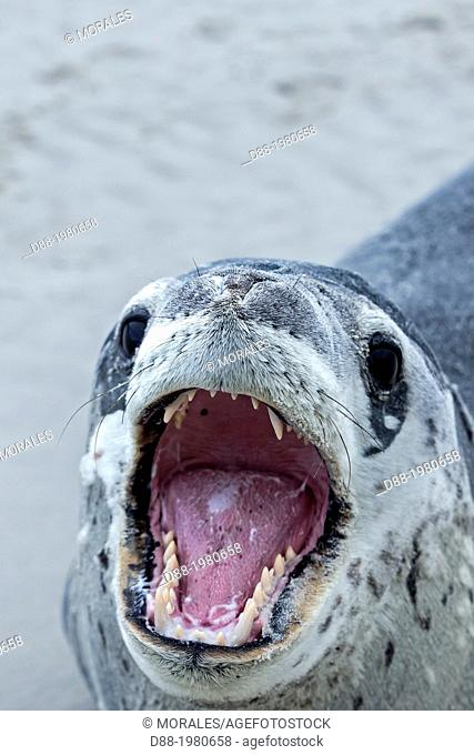Falkland Islands , Saunders island , Leopard Seal ( Hydrurga leptonyx ) on the beach , mouth open