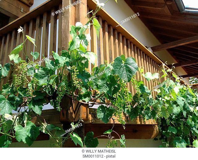 wine climbs up on the balcony railing