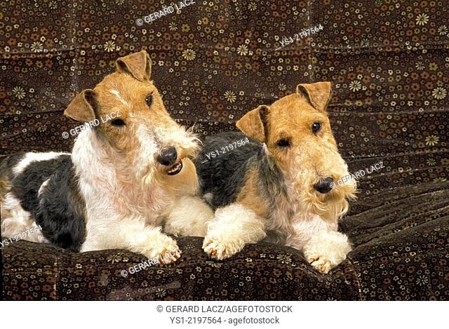 Wire-Haired Fox Terrier, Dog standing on Sofa