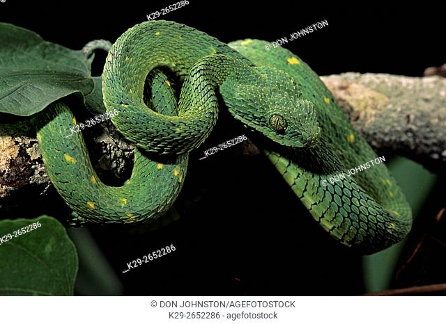 Green bush viper (Atheris chloroechis) captive specimen, , Native of Central and West Africa,