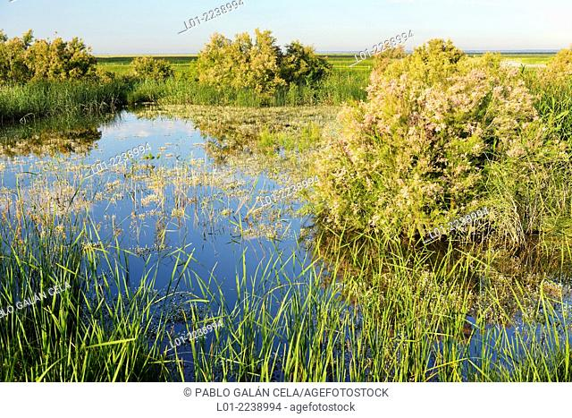 Vegetación acuática en las marismas del Guadalquivir (Parque Nacional Doñana)