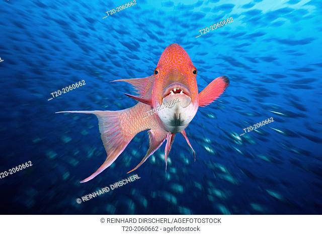 Mexican Hogfish, Bodianus diplotaenia, Socorro, Revillagigedo Islands, Mexico