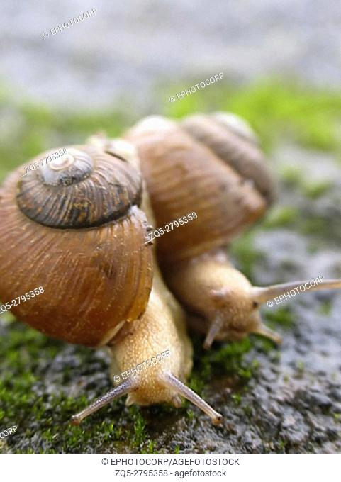 Two garden snails, Helix aspersa