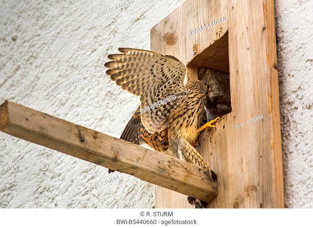 European Kestrel, Eurasian Kestrel, Old World Kestrel, Common Kestrel (Falco tinnunculus), female taking a mouse to the nest box, Germany, Bavaria, Niederbayern