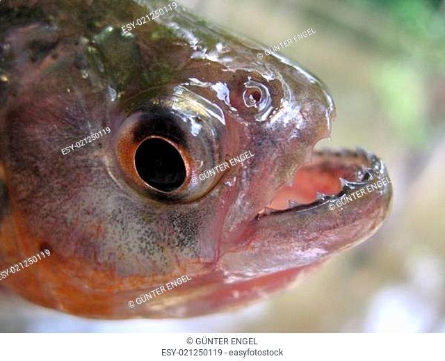 Piranha, Amazonas