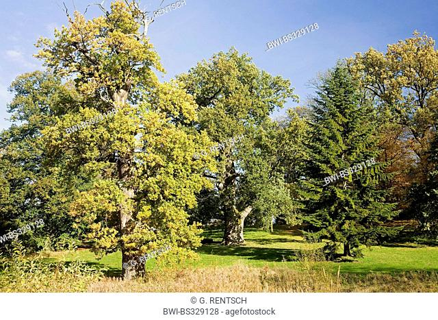 oak (Quercus spec.), oaks at the palace garden of Putbus, Germany, Mecklenburg-Western Pomerania, Ruegen