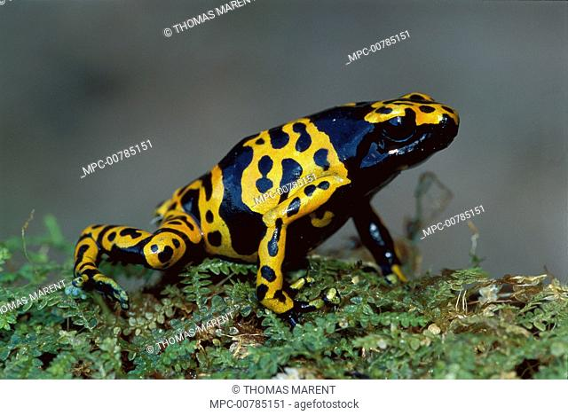 Yellow-banded Poison Dart Frog (Dendrobates leucomelas) portrait, Canaima National Park, Venezuela