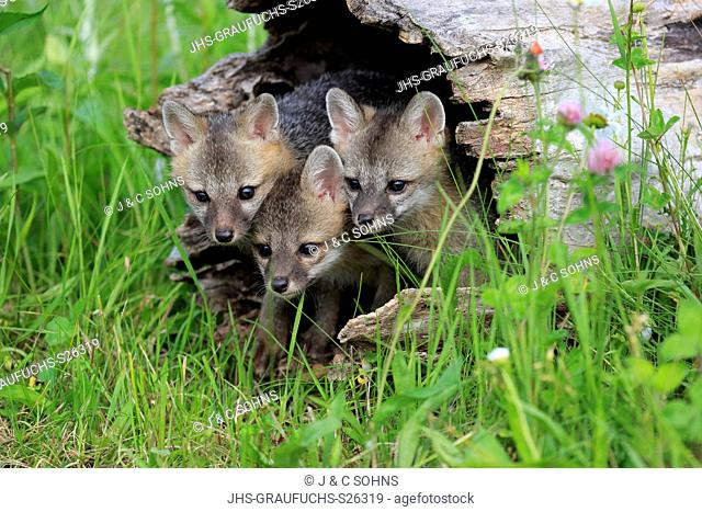 Gray fox, (Urocyon cinereoargenteus), three young siblings looking out of log in floret meadow, Pine County, Minnesota, USA, North America
