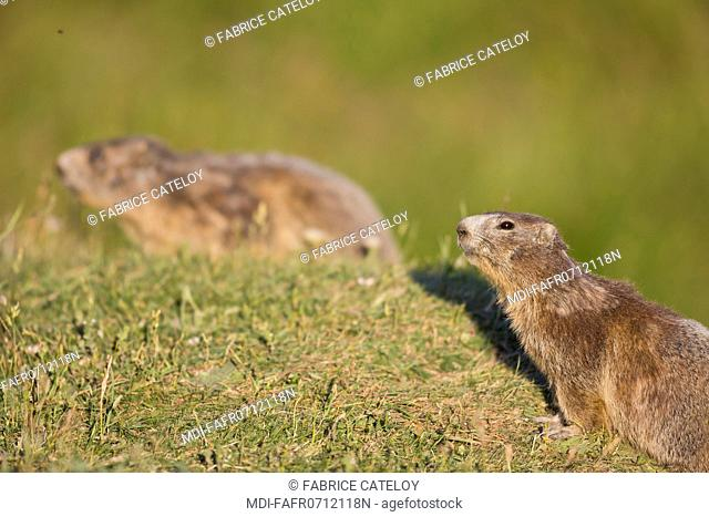 Nature - Fauna - Marmot - Marmots in the natural regional park of Queyras