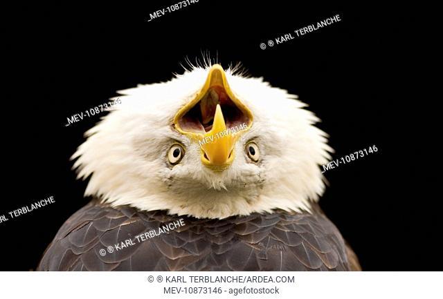 Bald Eagle - Portrait, calling with head thrown back (Haliaeetus leucocephalus). North America