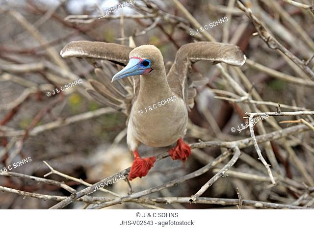 Red Footed Booby,Sula sula,Galapagos Islands,Ecuador,adult,on tree