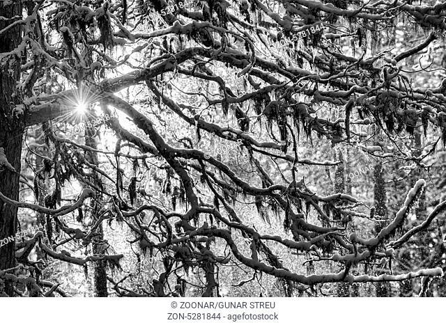 lichen covered branches, Lapland, Sweden