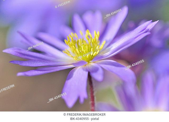 Balkan anemone (Anemone blanda), North Rhine-Westphalia, Germany