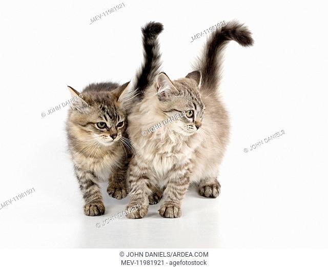 CAT. Tiffanie, Chocolate Macerel Tabby & Black Mackerel tabby CAT. Tiffanie, Chocolate Macerel Tabby & Black Mackerel tabby