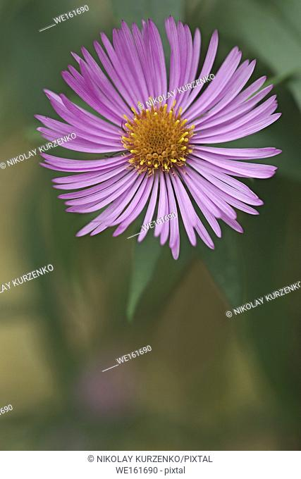 New England aster (Symphyotrichum novae-angliae). Known also as Michaelmas Daisy. Another scientific name is Aster novae-angliae
