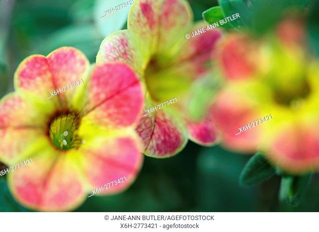 calibrachoa chameleon, sunshine berry, multi coloured mini-petunia flowers