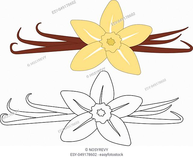 Vanilla (flower and pods) colorful and in white and black colors, coloring page. Vector illustration