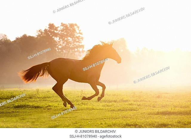 Iberian Sport Horse. Bay mare galloping in morning mist on a pasture. Germany