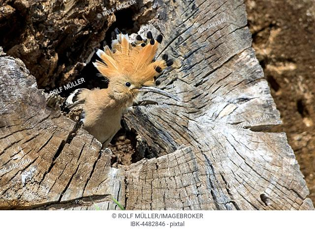 Hoopoe (Upupa epops) in rotten tree trunk, breeding burrow, Danube Delta, Dobruja, Romania