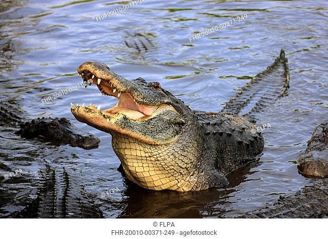 American Alligator Alligator mississipiensis adult, feeding, head raised out of water, Florida, U S A