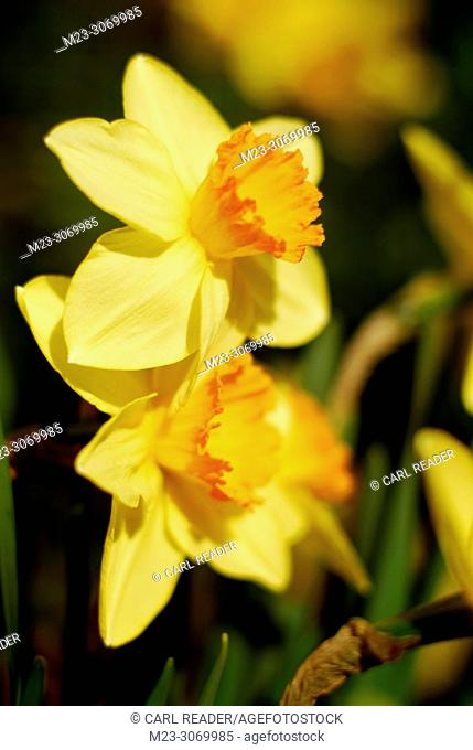 Daffodils in soft focus piled on top of each other, Pennsylvania, USA