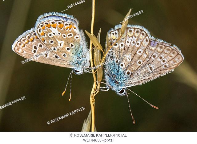 Germany, Saarland, Bexbach - A couple of common blue by the pairing