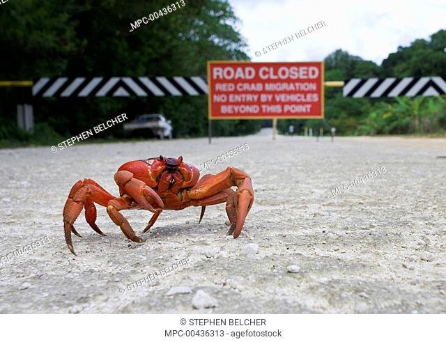 Christmas Island Red Crab (Gecarcoidea natalis) with road sign in the background, Christmas Island, Australia