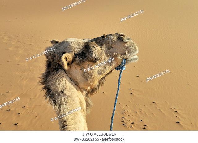 dromedary, one-humped camel Camelus dromedarius, portrait, Morocco