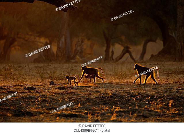 Backlit baboon family (Papio cynocephalus ursinus) walking on all fours in woodland, Chirundu, Zimbabwe, Africa