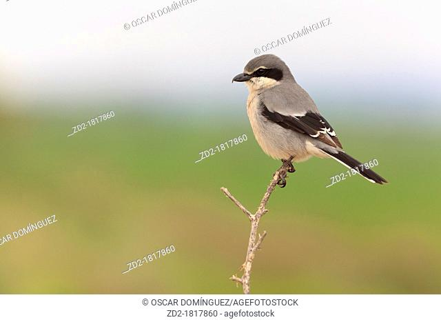 Southern Grey Shrike Lanius meridionalis perched on branch  Lleida  Catalonia  Spain