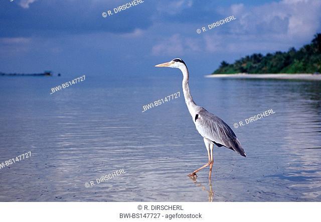 grey heron (Ardea cinerea), Maldives, Indian Ocean, Meemu Atoll