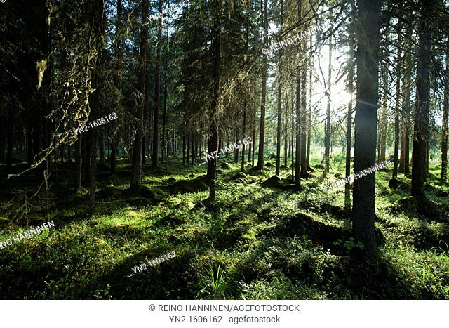 Finnish spruce , picea abies , forest where soil is moist and covered with moss Location Suonenjoki Finland Scandinavia Europe