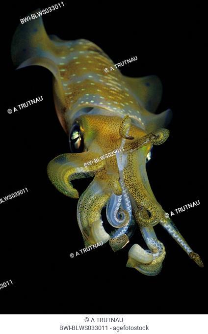 bigfin reef squid Sepioteuthis lessoniana, during night, Indonesia