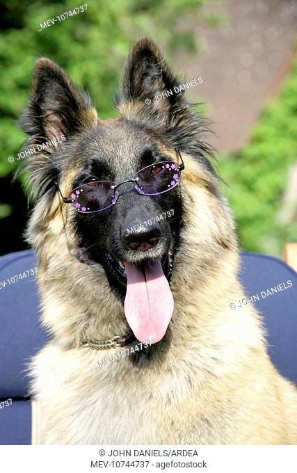 Belgian shepherd dog wearing purple glasses